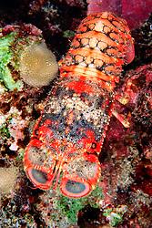 regal slipper lobster, .Arctides regalis, .Kona, Big Island, Hawaii (Pacific)