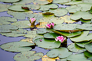 Water Lilies (Nymphaeaceae) in a pond at Charlottenburg Palace (Schloss Charlottenburg), Berlin, Germany, August 05, 2021.
