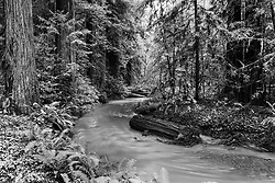 Rushing Stream, Scotia California.    Avenue of the Giants in Black and White.
