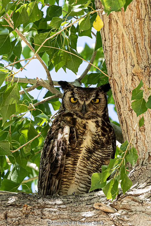 Great Horned Owl, Cottonwood Campground, Big Bend National Park, Texas