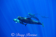 juvenile short-finned pilot whale, Globicephala macrorhynchus (center), plays with large adult in pod traveling through open ocean, Kona, Hawaii ( the Big Island ), U.S.A. ( Central Pacific Ocean )