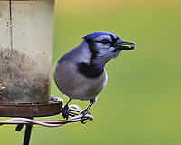 Blue Jay at the bird feeder. Image taken with a Nikon D5 camera and 600 mm f/4 VR lens (ISO 1600, 600 mm, f/5.6, 1/400 sec).