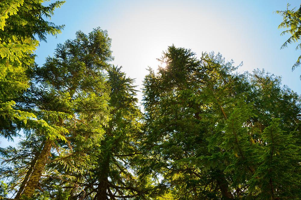 Forest at Mount Rainier National Park, Washington State, USA