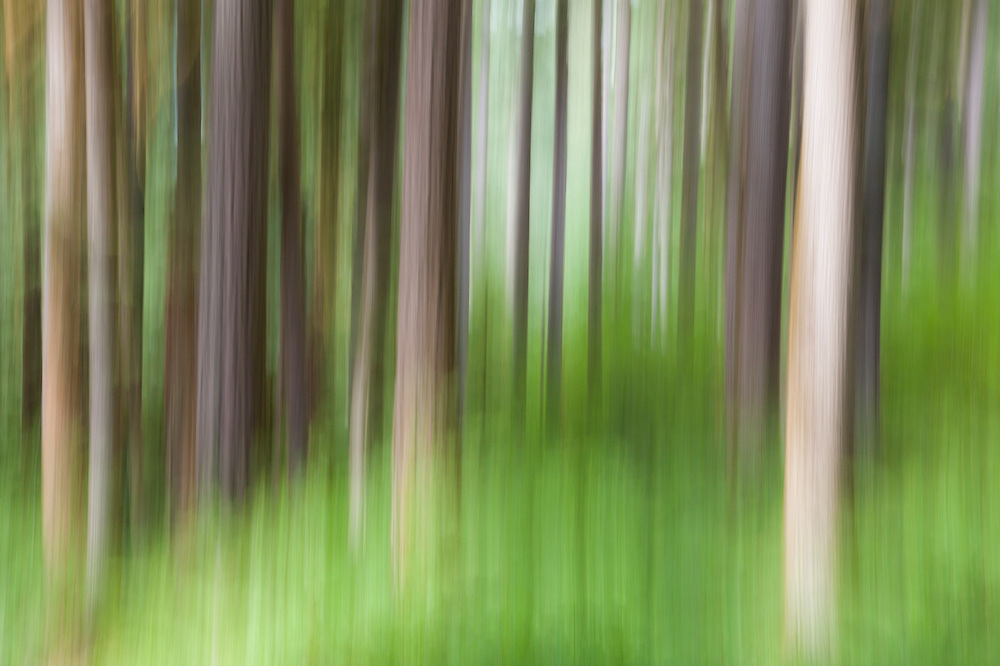 Trunks of trees blurred by camera motion, Mount Baker-Snoqualmie National Forest, Washington.