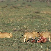 African Lion, (Panthera leo) Older cubs feeding on wildebeest. Masai Mara Game Reserve Kenya. Africa.