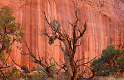 An ancient juniper tree with varnished water streaks on the sandstone of Long's Canyon in Grand Staircase - Escalante National Monument near Boulder, Utah.
