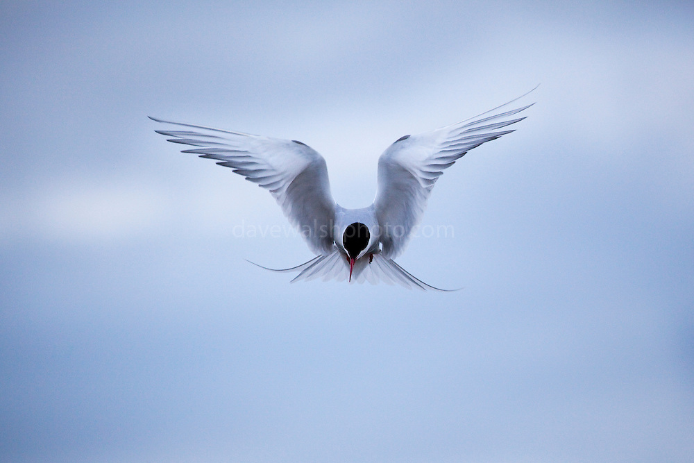 """Arctic Tern ready to defend - and that means attacking the photographer - above its nest, which it constructed in gravel alongside a road at the scientific research base in Ny-Ålesund, Svalbard, 1200km from the North Pole. Arctic terns migrate more than any other species of any known animal - up to 70,000km to Antarctica and back to the Arctic every year.<br /> <br /> This mage can be licensed via Millennium Images. Contact me for more details, or email mail@milim.com For prints, contact me, or click """"add to cart"""" to some standard print options."""