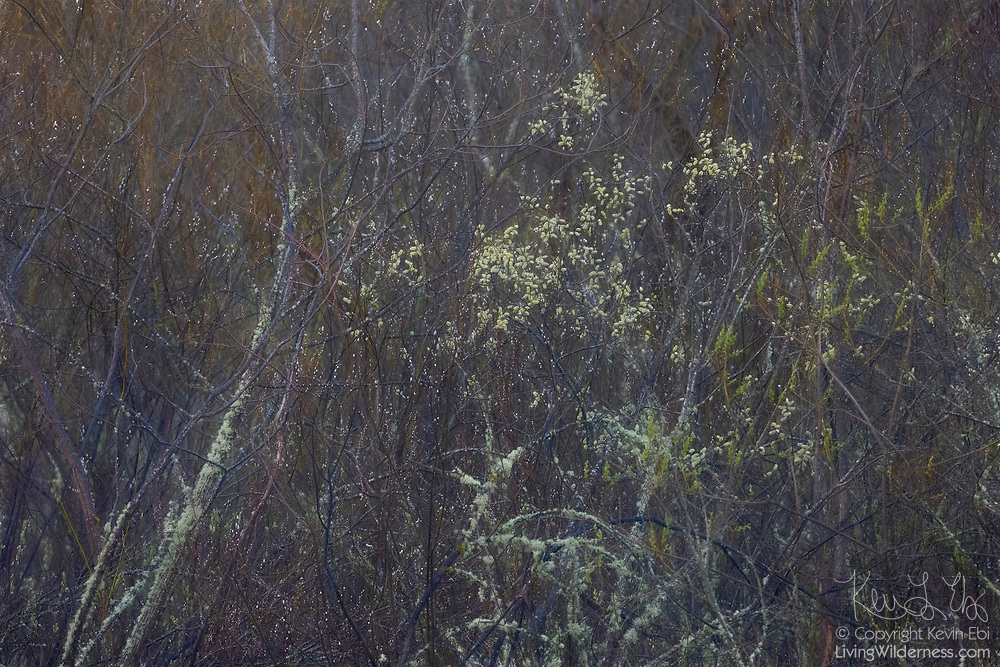 Willow blossoms appear as bright dots in heavy brush in wetlands of Marymoor Park, Redmond, Washington.