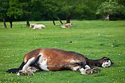 Welsh horse sleeping in meadow in Snowdonia, Gwynedd, Wales