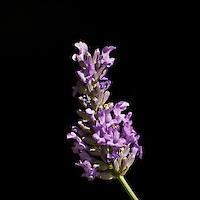 lavender on black