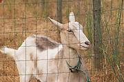 Domaine de la Garance. Pezenas region. Languedoc. A goat that also contributes to fertilizing the vineyards. France. Europe.