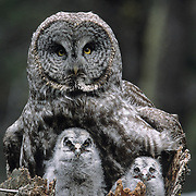 Great Gray Owl (Strix nebulosa) adult and chicks in a nest on top of a broken tree trunk. Montana