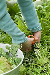 Harvesting salad leaves ( mizuna )