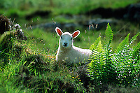 Sheep, Dornie, Scottish Highlands, Scotland
