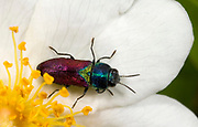 Close up of a colourful pasture splendour beetle (Anthaxia salicus) resting on a white rose flower in a coastal woodland habitat in Rovinj Croatia.