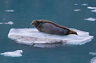 A harbor seal hauled out on the ice near Johns Hopkins Glacier in Glacier Bay National Park in Alaska's Inside Passage aboard the National Geographic Sea Bird