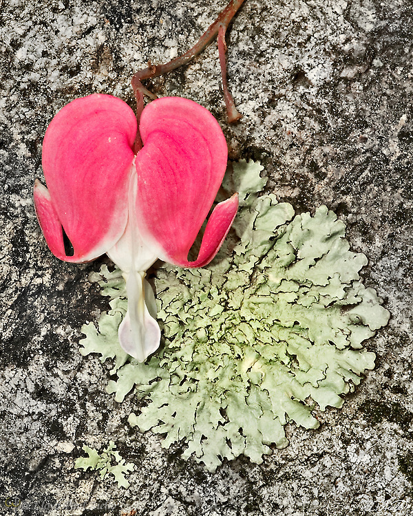A bleeding heart (Dicentra spectabilis) blooms against foliose lichen (Xanthoparmelia sp.) growing on a slab of granite.
