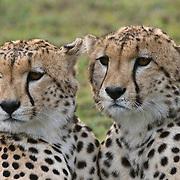Cheetah (Acinonyx jubatus) pair of brothers. Serengeti Plains, Masai Mara National Reserve, Kenya, Africa