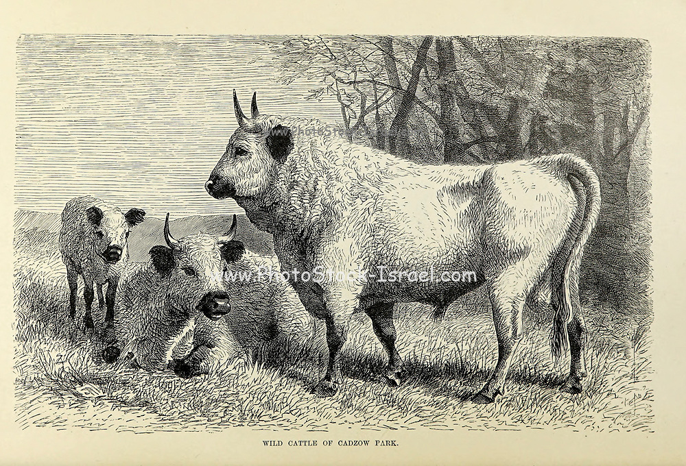 Wild Cattle of Cadzow Park in Scotland From the book ' Royal Natural History ' Volume 2 Edited by Richard Lydekker, Published in London by Frederick Warne & Co in 1893-1894