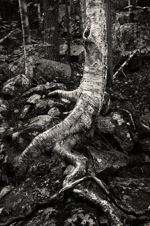 Tree roots along Kebo Brook, Acadia National Park, Maine
