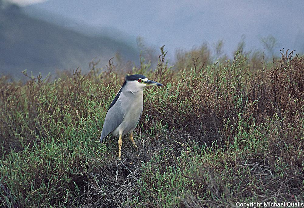 A Black Crowned Night Heron in the pickleweed and salt marsh plants of Los Peñasquitos Marsh. San Diego, CA.  USA