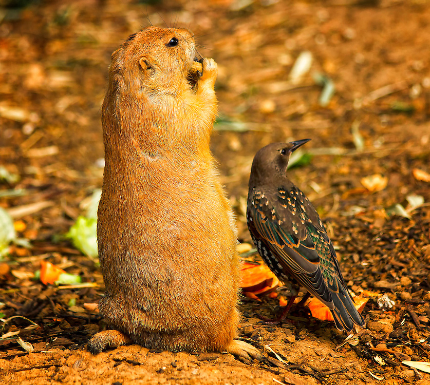 A starling bird comes along and starts trying to steal the prairie dogs food.