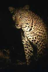 July 7, 2015 - African Leopard, Kruger National Park, South Africa  (Credit Image: © Spillner, G/DPA/ZUMA Wire)