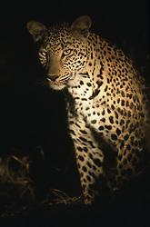 July 7, 2015 - African Leopard, Kruger National Park, South Africa  (Credit Image: © Spillner, G/DPA/ZUMA Wire)