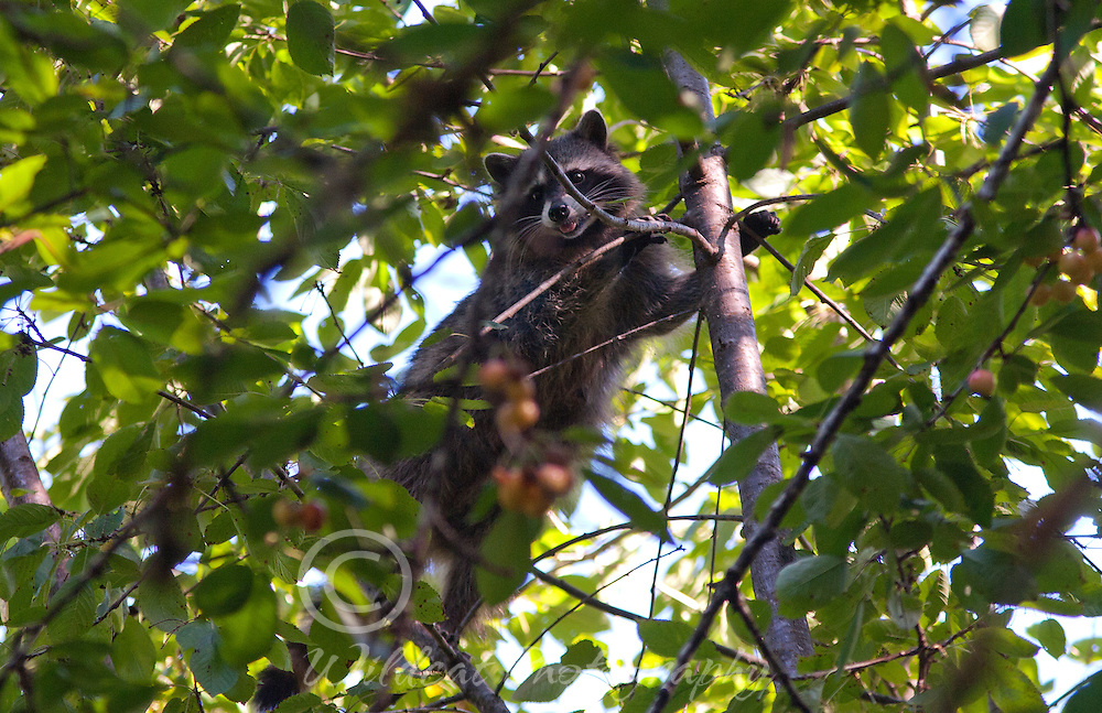 Raccoon in the Cherry Tree