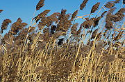 Reeds bending in the wind