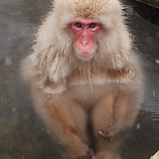 Snow Monkey or Japanese Red-Faced Macaque bathing, Japan