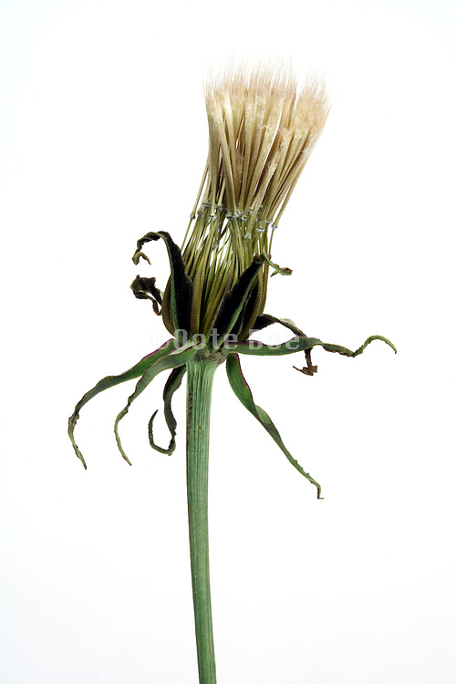 opening up seed head of a dandelion of which the outer leaves starting to dry up