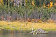 Beaver lodge in Jasper National Park
