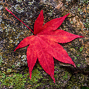 An autumn Japanese Maple Leaf (Acer palmatum) has fallen on a lichen and moss covered rock in Belmont, Massachusetts.