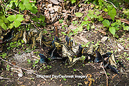 03845-00503 Pipevine Swallowtails & Eastern Tiger Swallowtails puddling, Tremont Area, Great Smoky Mountains NP, TN
