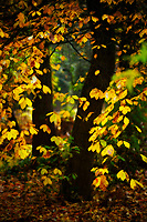 Autumn covers a tree with a delicate golden leaf veil.