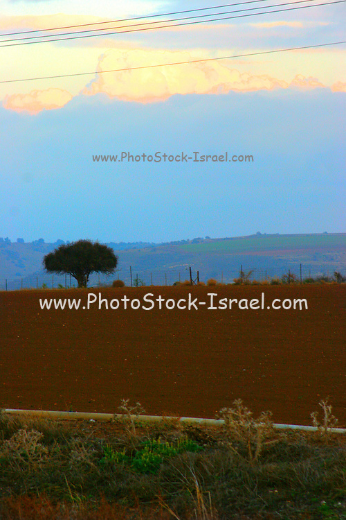 Israel, Galilee a lone tree at sunset over the mountains