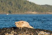 harbor seal, harbour seal, or common seal, Phoca vitulina, southern coast of Vancouver Island, British Columbia, Canada ( North Pacific Ocean )