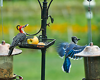 Red-bellied Woodpecker and Blue Jay. Image taken with a Nikon D850 camera and 200-500 mm f/5.6 VR lens