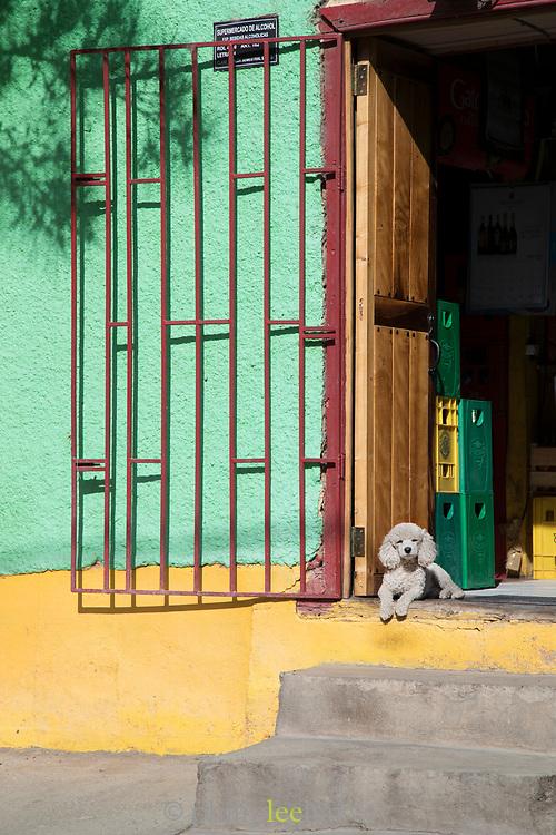 Poodle in wine shop doorway in Pisco Elqui, Chile