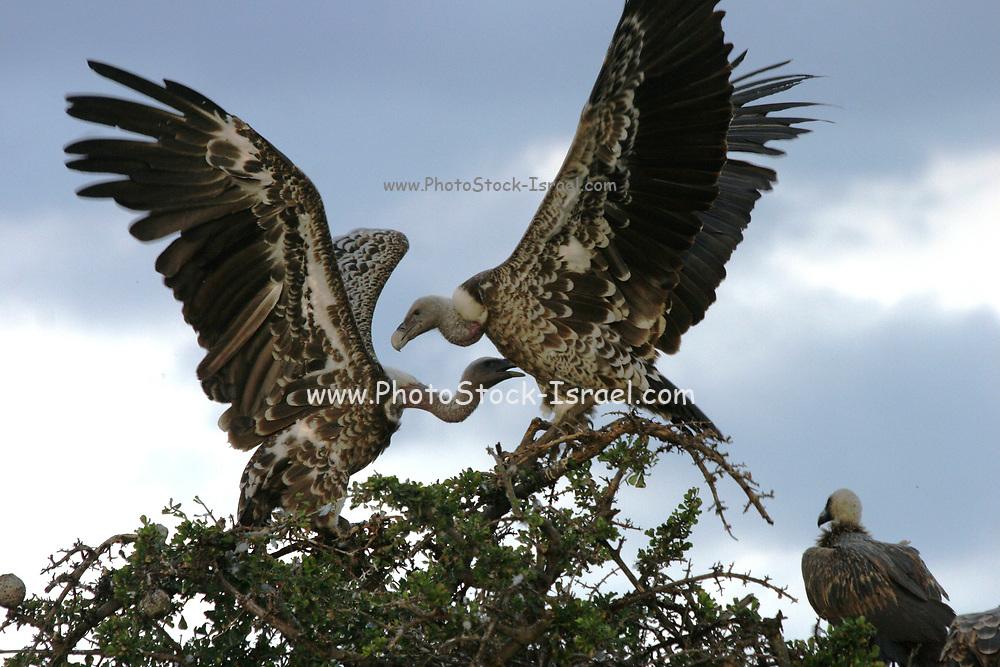 White-backed vultures (Gyps africanus) interacting, Masai-Mara Game Reserve, Kenya