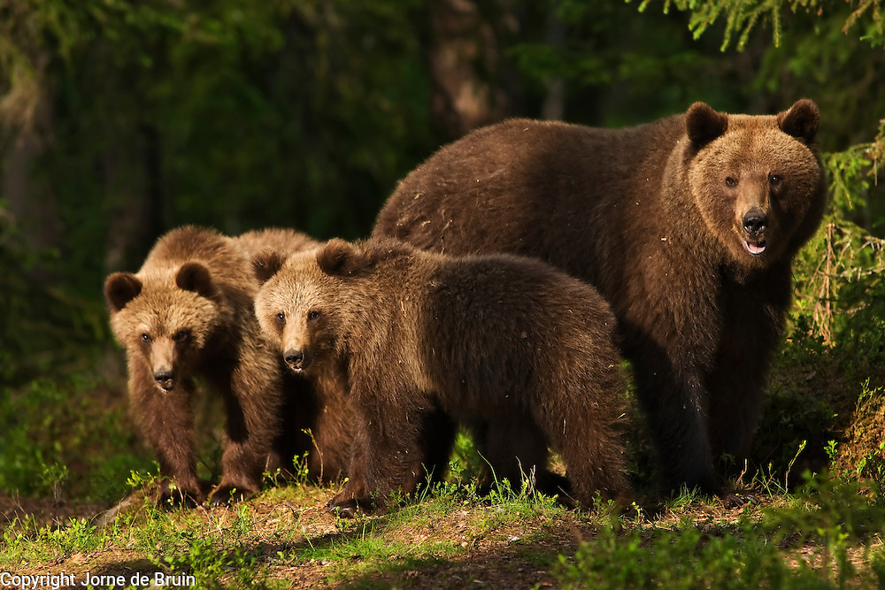 An Eurasian Brown Bear and her Cubs stand together in a forest in Finland.
