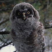 Great gray owl chick fledged on branch in Montana.