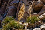 Parry's nolina ((Nolina parryi). Joshua Tree National Park, near Twentynine Palms, California, USA. The park straddles the cactus-dotted Colorado Desert and the Mojave Desert, which is higher and cooler.