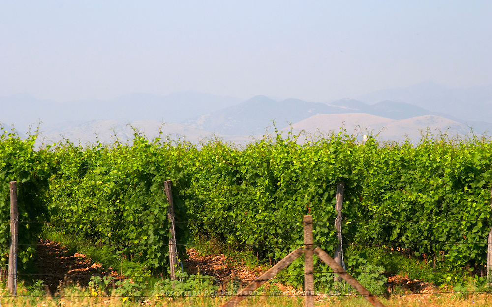 A vineyard with high trained vines protected by barbed wire fence and mountains in the background. Near Podgorica. Podgorica capital. Montenegro, Balkan, Europe.