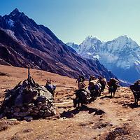 Yaks carry loads for trekkersing in the Gokyo Valley in the Khumbu region of Nepal. 1980.  Mts.Kangtega & Thamserku bkg.