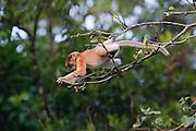 Baby Proboscis Monkey (Nasalis larvatus) climbing on a tree by Kinabatangan River, Sabah