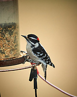Downy Woodpecker. Image taken with a Nikon D5 camera and 600 mm f/4 VR lens (ISO 1600, 600 mm, f/4, 1/400 sec)