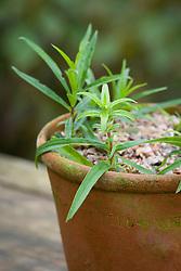 Potting on penstemon cuttings. Penstemon cuttings around the edge of a terracotta pot