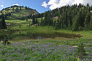 pond in a meadow with lupine blooming along the Naches Peak Loop Trail below Naches Peak south of Chinook Pass along the Pacific Crest Trail in Mount Rainier National Park, Cascade Range, Washington state, USA
